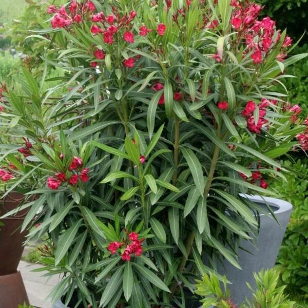 Roter-Oleander
