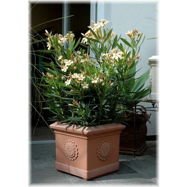 product_gallery_large_1299750582_KSNEO-103G-P-Pflanzen-Kuebelpflanzen-Dauerblueher-Oleander-gelb_73f8265f-b704-a0bf-34b3-3054d920111f